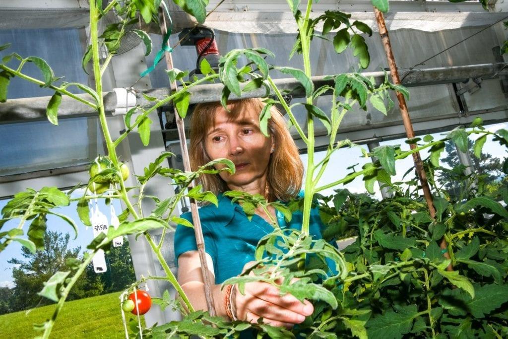 Joyce Van Eck in Greenhouse examining a tomato plant.
